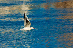 Gull in flight Royalty Free Stock Photos