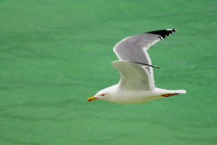 Gull in flight Stock Photo
