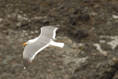 Gull in Flight. Seagull in flight with outstretched wings, from above Stock Images