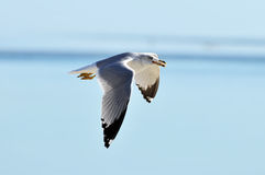 Gull in Flight. Sea Gull in Flight with Food in Beak Royalty Free Stock Images