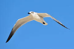 Gull in Flight. Sea Gull in Flight against Blue Caribbean Sky Royalty Free Stock Photography
