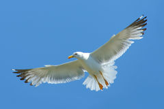 Gull in flight Stock Image