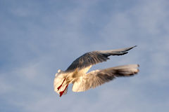 Gull in flight. Flying seagull in the sky Stock Photography