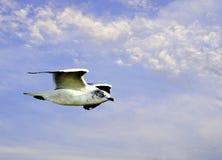 Gull in Flight Royalty Free Stock Photo