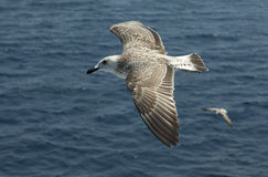Gull in flight. Gull with outspread wings hovers sea royalty free stock photography