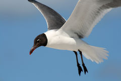 Gull Flight Royalty Free Stock Images