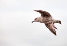 Gull Royalty Free Stock Photo