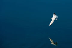 Gull in flight. Over the river with reflection on water Stock Image