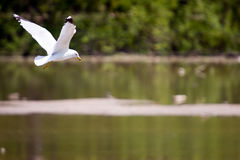 Gull in Flight. Over protected wetlands royalty free stock images