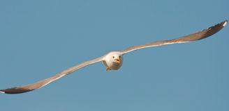 Gull in flight. Attacking gull in the blue sky stock photo