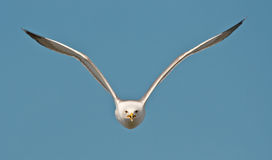 Gull in flight. Attacking gull in the blue sky Stock Photography