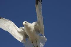 Gull in flight. Against the blue sky Stock Photo