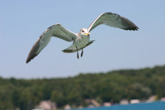 Gull in Flight. Seagull flying over Torch Lake Stock Images