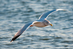 Gull Flight Above Waves Royalty Free Stock Images