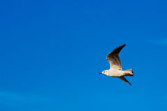 Gull in flight on blue sky Stock Image