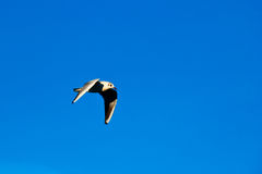 Gull in flight on blue sky with wings down. Gull flying against clear blue sky with wings towards down Stock Photos