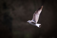 Gull In Flight With dark Backgound Royalty Free Stock Images