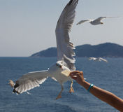 Gull in flight. Food from the hand of man Stock Photos