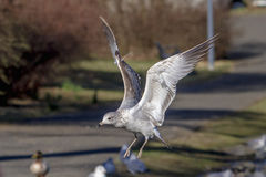 Gull in flight Stock Photos