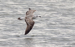 Gull in flight Royalty Free Stock Photo