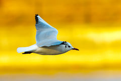 Gull in flight over colorful out of focus background Stock Image