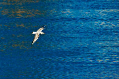 Gull in flight over the river Stock Photography