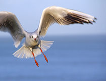 Gull in flight Royalty Free Stock Image