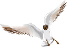 Gull in flight Stock Photos