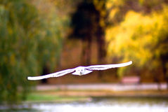 Gull fliyng and yellow trees Stock Images
