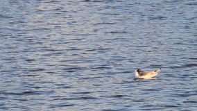 Gull floating  in water in the nature stock footage