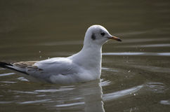 Gull floating on water Royalty Free Stock Photo