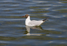 Gull floats in the lake Royalty Free Stock Images