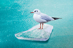 Gull on the floe Stock Photo