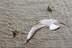 Gull in fly over a river. Stock Images