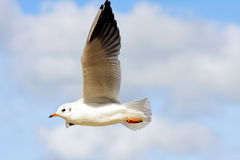 Gull flying Stock Photography