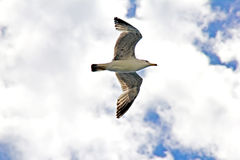 Gull flying Royalty Free Stock Images