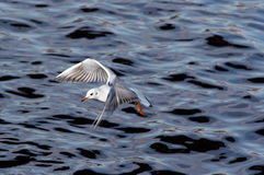 Gull flying above river Royalty Free Stock Photography