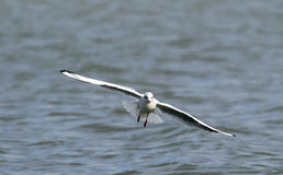 Gull flying above river Royalty Free Stock Images