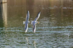 Gull. Flying across the water Stock Image