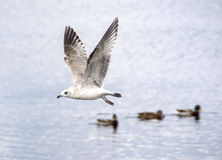 The gull is flying Royalty Free Stock Photography