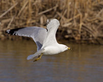 The gull is flying calm. Near the water Royalty Free Stock Image