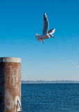Gull flying. From the dock Royalty Free Stock Photography