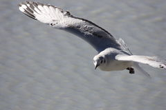 Gull Flying in Laguna Hedionda Royalty Free Stock Image