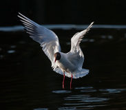 Gull flying on the lake. Black-headed Gull (Chroicocephalus ridibundus Royalty Free Stock Photos