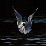 Gull flying on the lake Royalty Free Stock Image