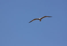 Gull flying in a sky Stock Photos