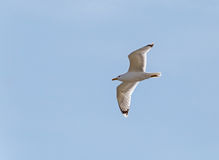 Gull flying in a sky Stock Images