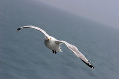 The Gull. Gull flying in the sky on the English Channel separating france to England Royalty Free Stock Photo