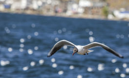 gull flying in the sky Royalty Free Stock Image