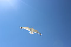 Gull flying in the sky Stock Image